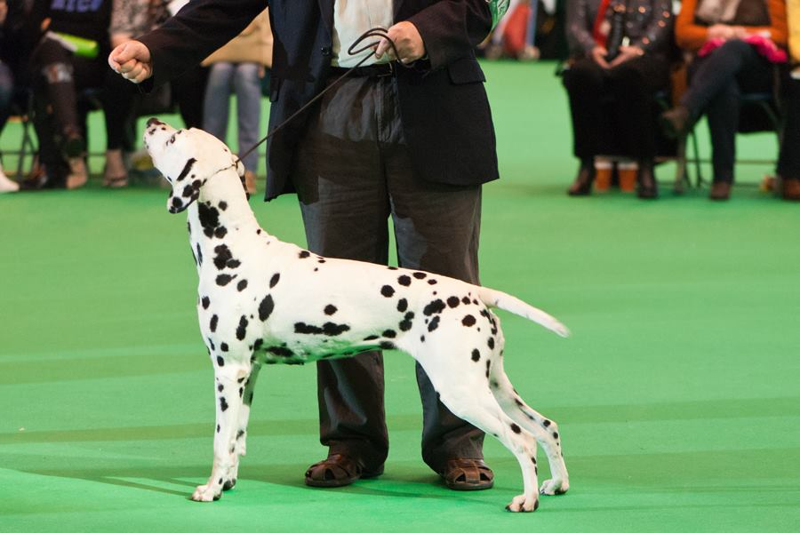 zaffre at crufts
